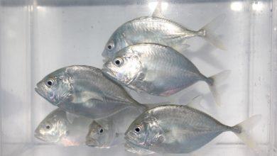 Photo of KKP Kembangkan Teknologi Budidaya Ikan Bubara Komoditi Ekspor